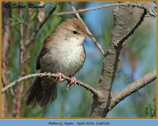cettis-warbler-14.jpg