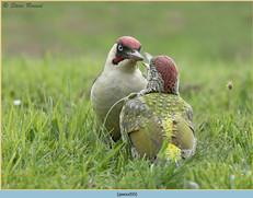 green-woodpecker-50.jpg