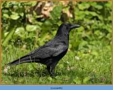 carrion-crow-44.jpg