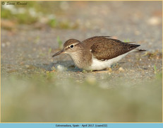 common-sandpiper-32.jpg