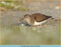 common-sandpiper-32.jpg