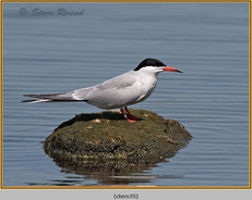 common-tern-35.jpg