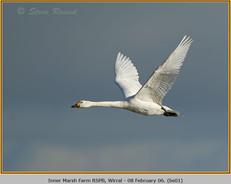 bewick's-swan-01.jpg