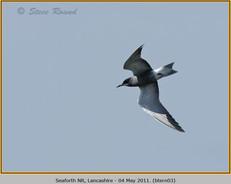 black-tern-03.jpg