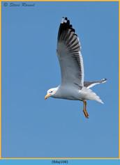 lesser-black-backed-gull-108.jpg