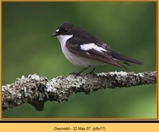 pied-flycatcher-17.jpg