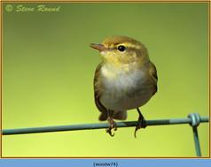 wood-warbler-74.jpg