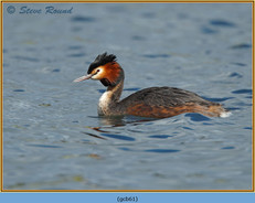 great-crested-grebe-61.jpg