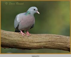 stock-dove-31.jpg