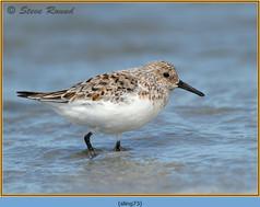 sanderling-73.jpg