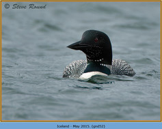 great-northern-diver-52.jpg