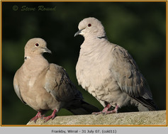 collared-dove-11.jpg