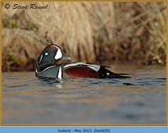 harlequin-duck-20.jpg