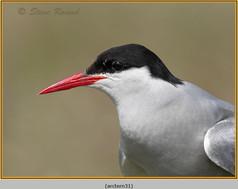 arctic-tern-31.jpg