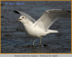 ring-billed-gull-09.jpg