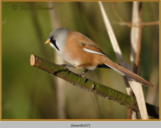 bearded-tit-07c.jpg
