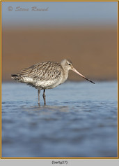 bar-tailed-godwit-27.jpg