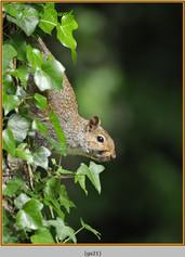 grey-squirrel-21.jpg