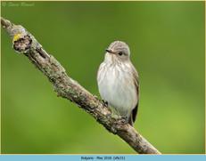 spotted-flycatcher-31.jpg
