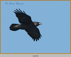raven-35.jpg