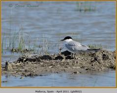 gull-billed-tern-02.jpg