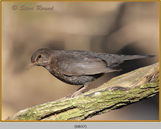blackbird-57.jpg