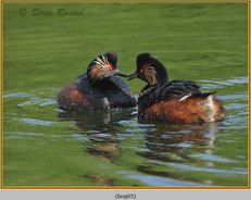 black-necked-grebe-05.jpg