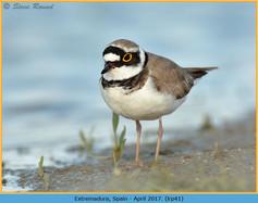 little-ringed-plover-41.jpg