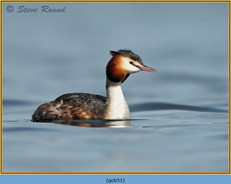 great-crested-grebe-51.jpg