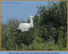 little-egret-56.jpg