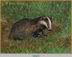badger-23.jpg