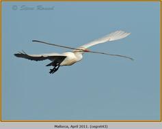cattle-egret-43.jpg