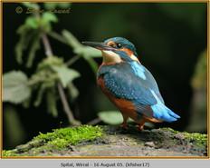kingfisher-17.jpg