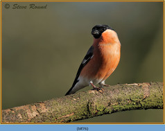 bullfinch-76.jpg