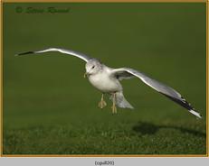common-gull-20.jpg