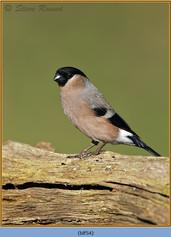 bullfinch-54.jpg