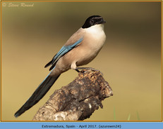 azure-winged-magpie-24.jpg
