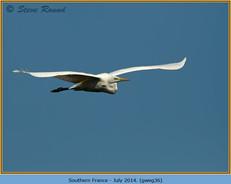 great-white-egret-36.jpg