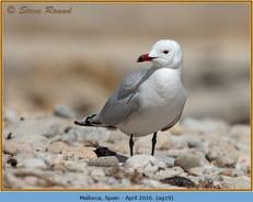 audouin's-gull-19.jpg