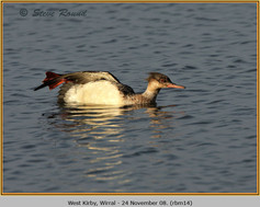 red-breasted-merganser-14.jpg