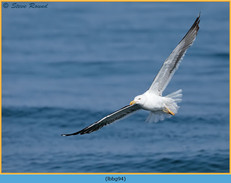 lesser-black-backed-gull- 94.jpg