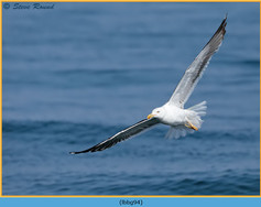 lesser-black-backed-gull- 94.jpg