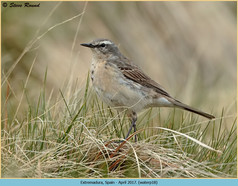 water-pipit-18.jpg
