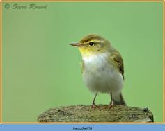 wood-warbler-65.jpg