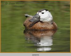 whited-headed-duck-03c.jpg