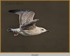 herring-gull-43.jpg