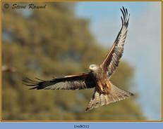 red-kite-51.jpg