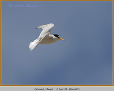 little-tern-07.jpg