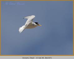 little-tern-07.jpg