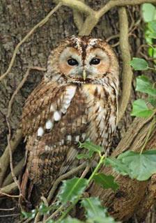 Tawny-Owl-1.jpg